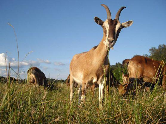 goats_by_koschi